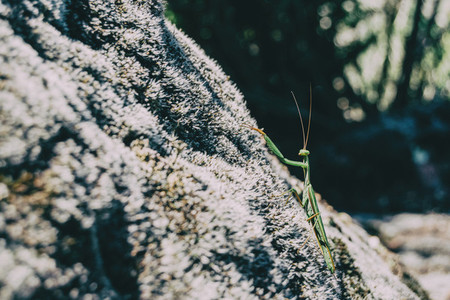 A green mantis on a rock