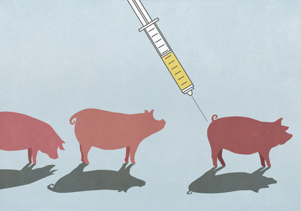 Pigs being vaccinated with syringe