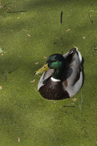 Mallard duck in green algae pond