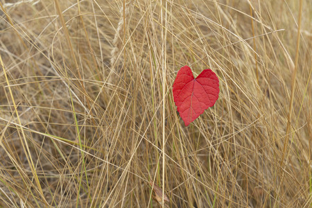Red heart shape autumn leaf in tall dry grass