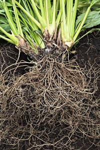 Abundant roots of plant