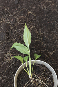 Plant with exposed roots growing in flowerpot