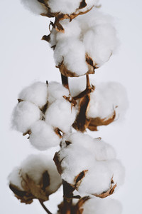 Close up fluffy cotton bolls growing on plant branch