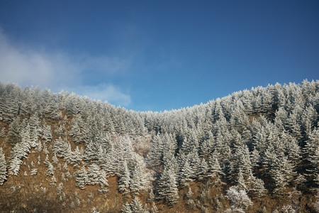 ZLATIBOR SERBIA   Snow covered pine trees in the Zlatibor mountains in Serbia