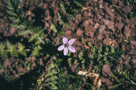 small lilac erodium flower on the ground