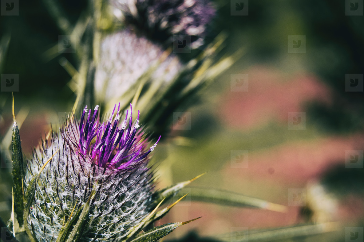 Open flower of lilac cirsium with vivid colors