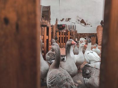 Many domestic geese inside a farm