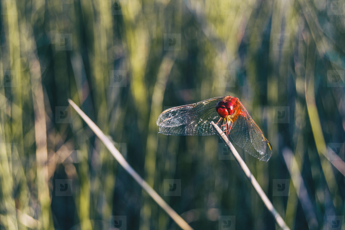 red dragonfly seen up close in a field a sunny day