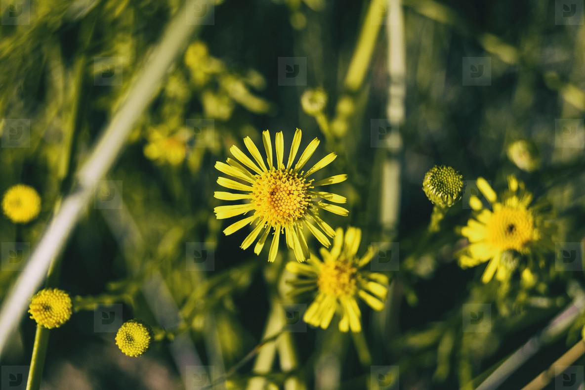 yellow limbarda flowers seen up close