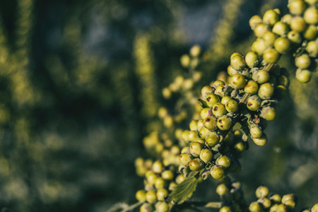 green fruits of vitex agnus seen close up