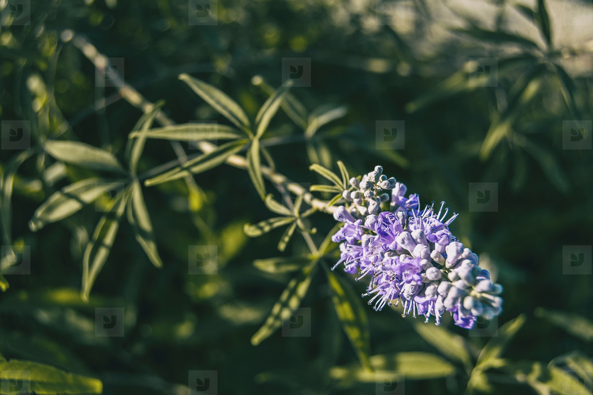 lilac flowers of vitex agnus seen close up