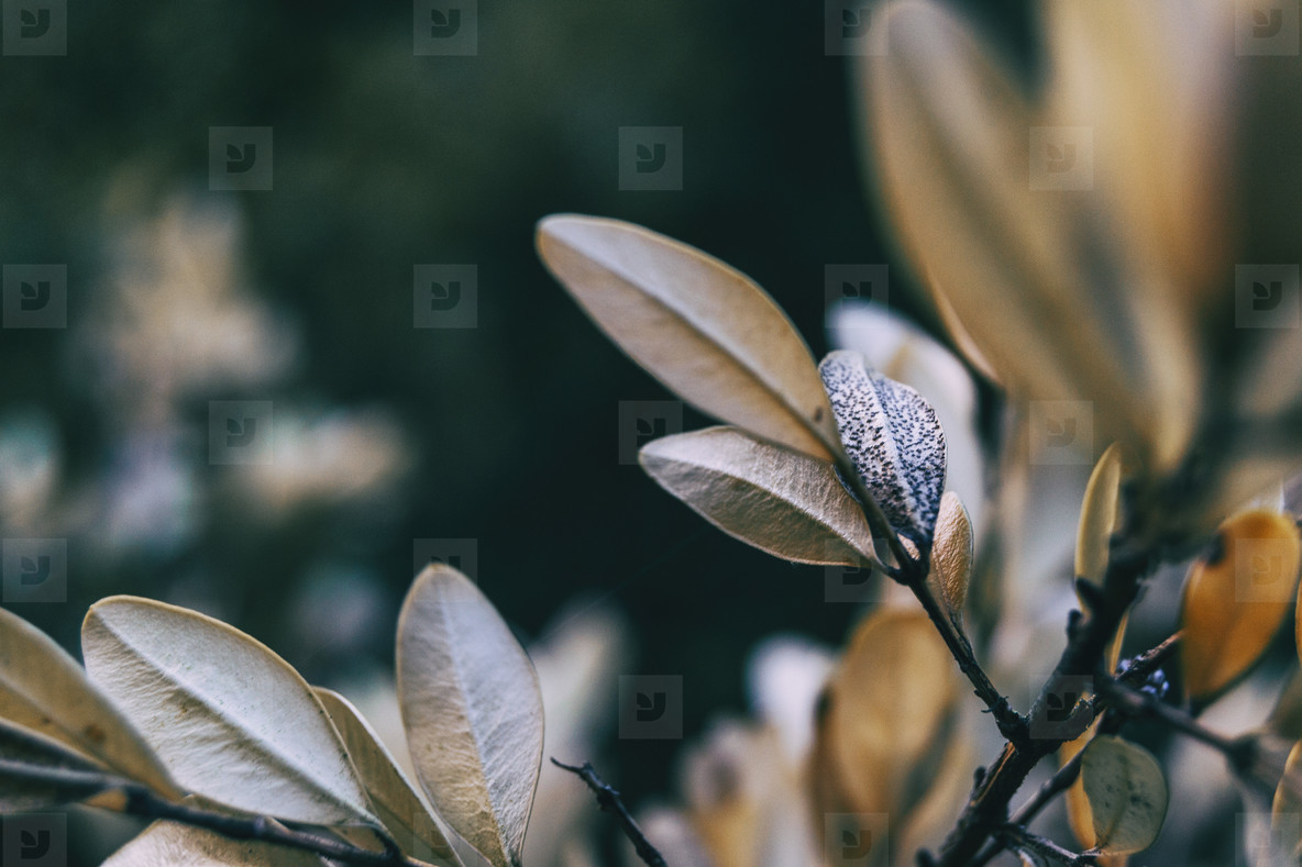 dried buxus leaves seen from close up in a pale color