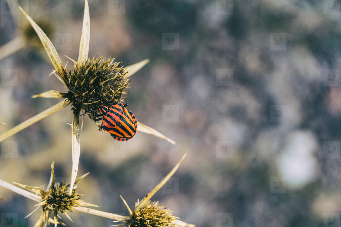 red black striped insect on top of a thistle