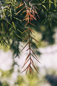 orange juniperus twig