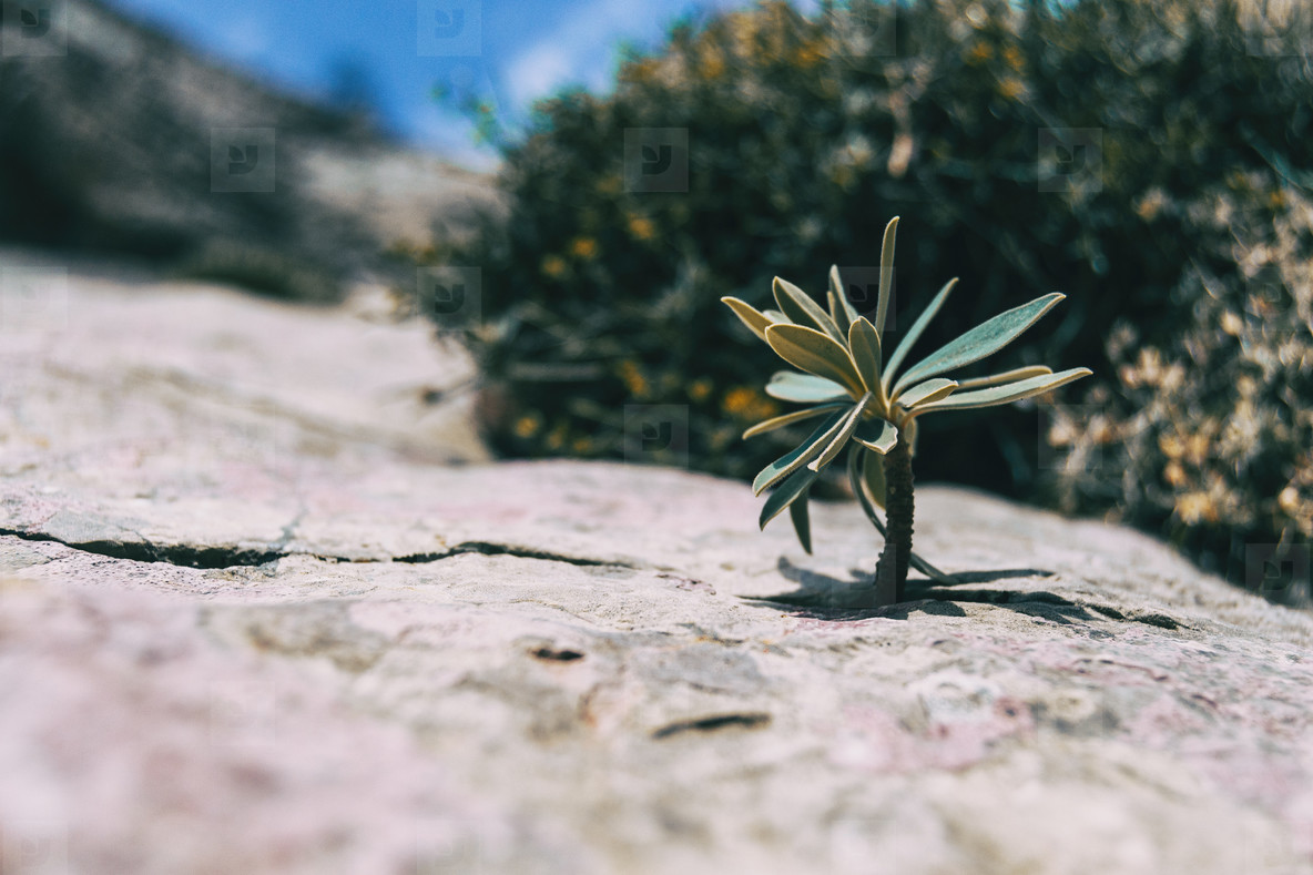 small stem of euphorbia sticking out of a gray rock in the mountain