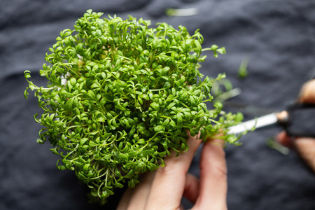 Top view of fresh microgreens in a pot