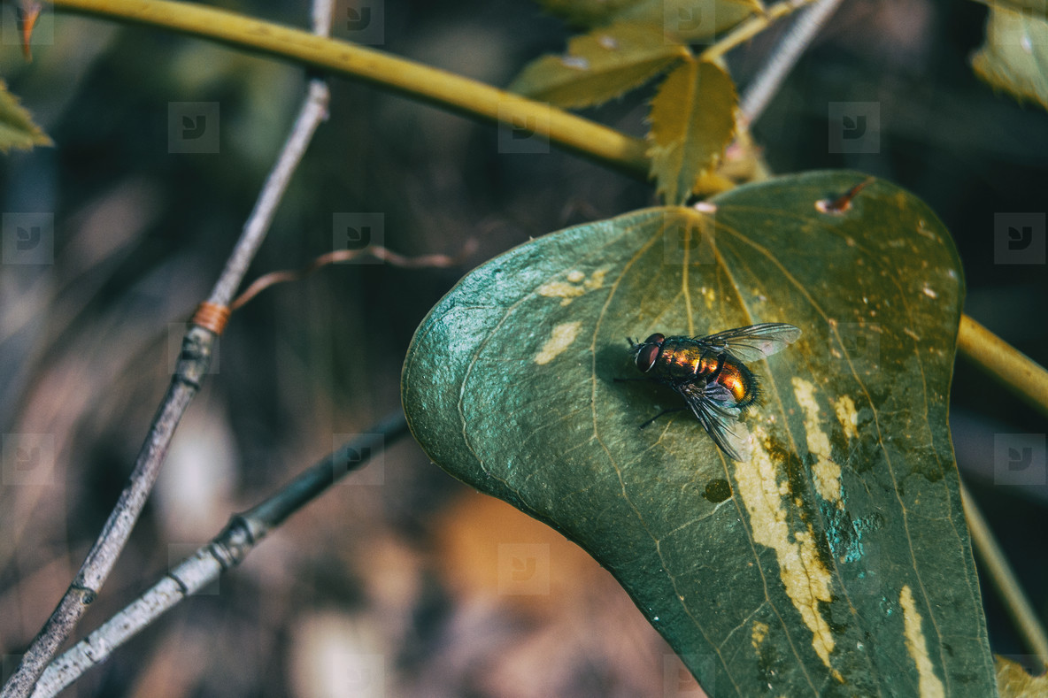 leave close up view of a smilax aspera with a fly