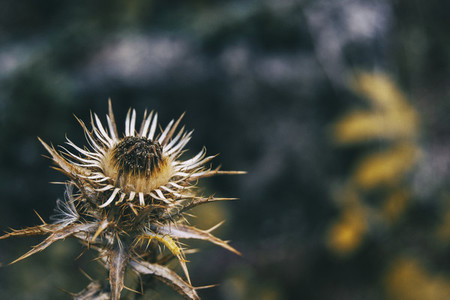 dried carlina flower in sepia color and dried on a mountain