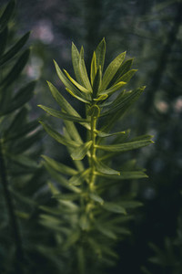 stalk of elongated leaves of daphne in a mountain