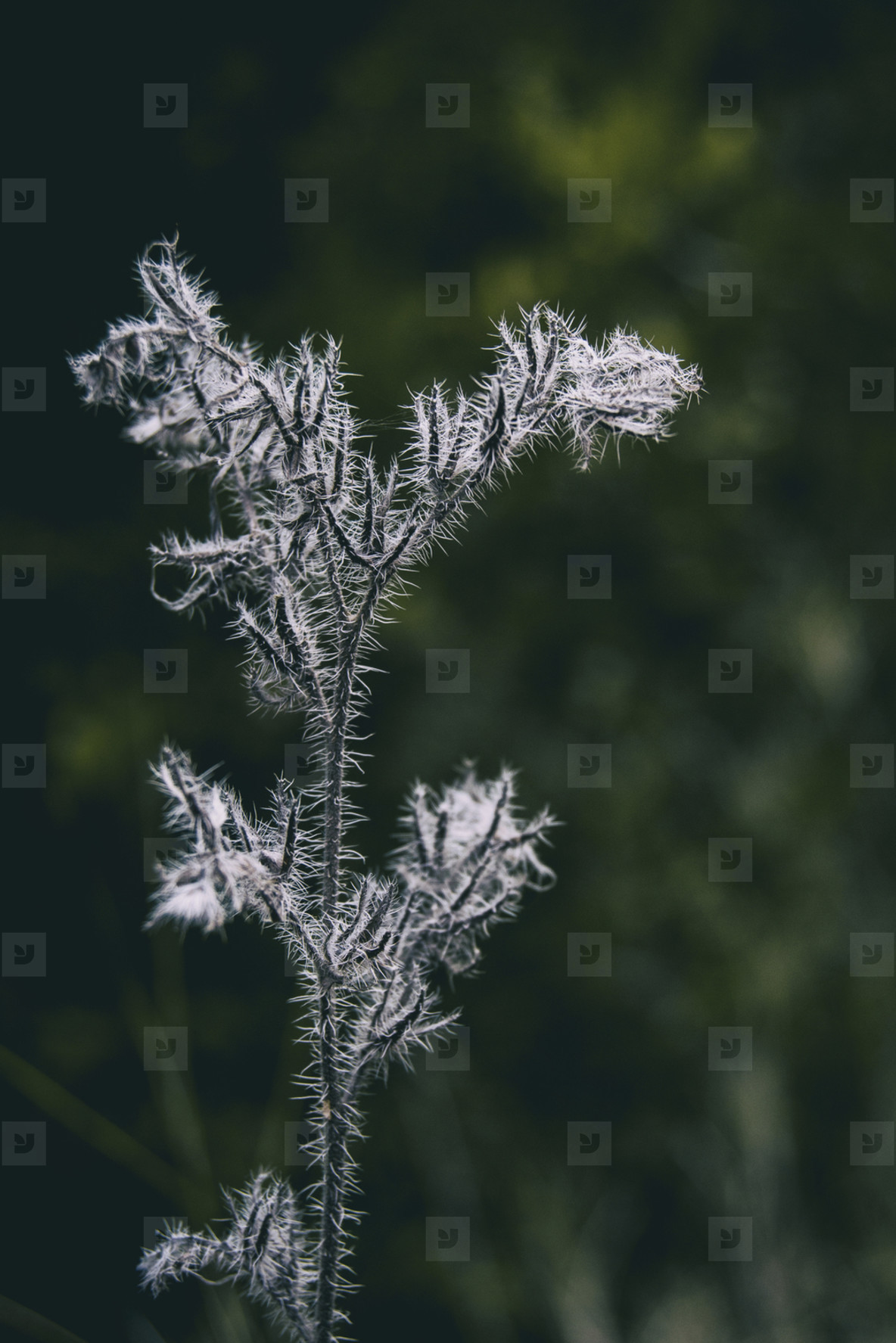 plant with white fluff seen close up in a field