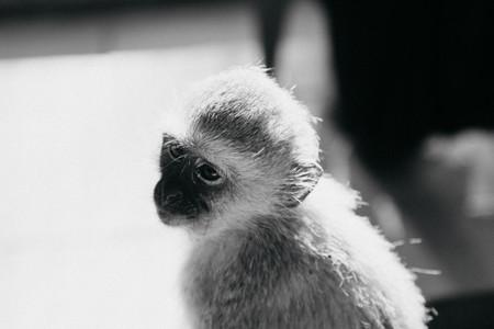 Baboon Monkey  Bambelela  South