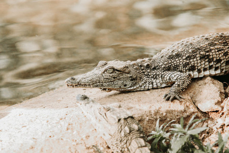 African nile crocodile  South Africa
