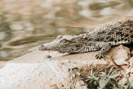 African nile crocodile  South Africa