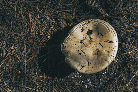 a wild mushroom seen up close in a blanket of dry leaves