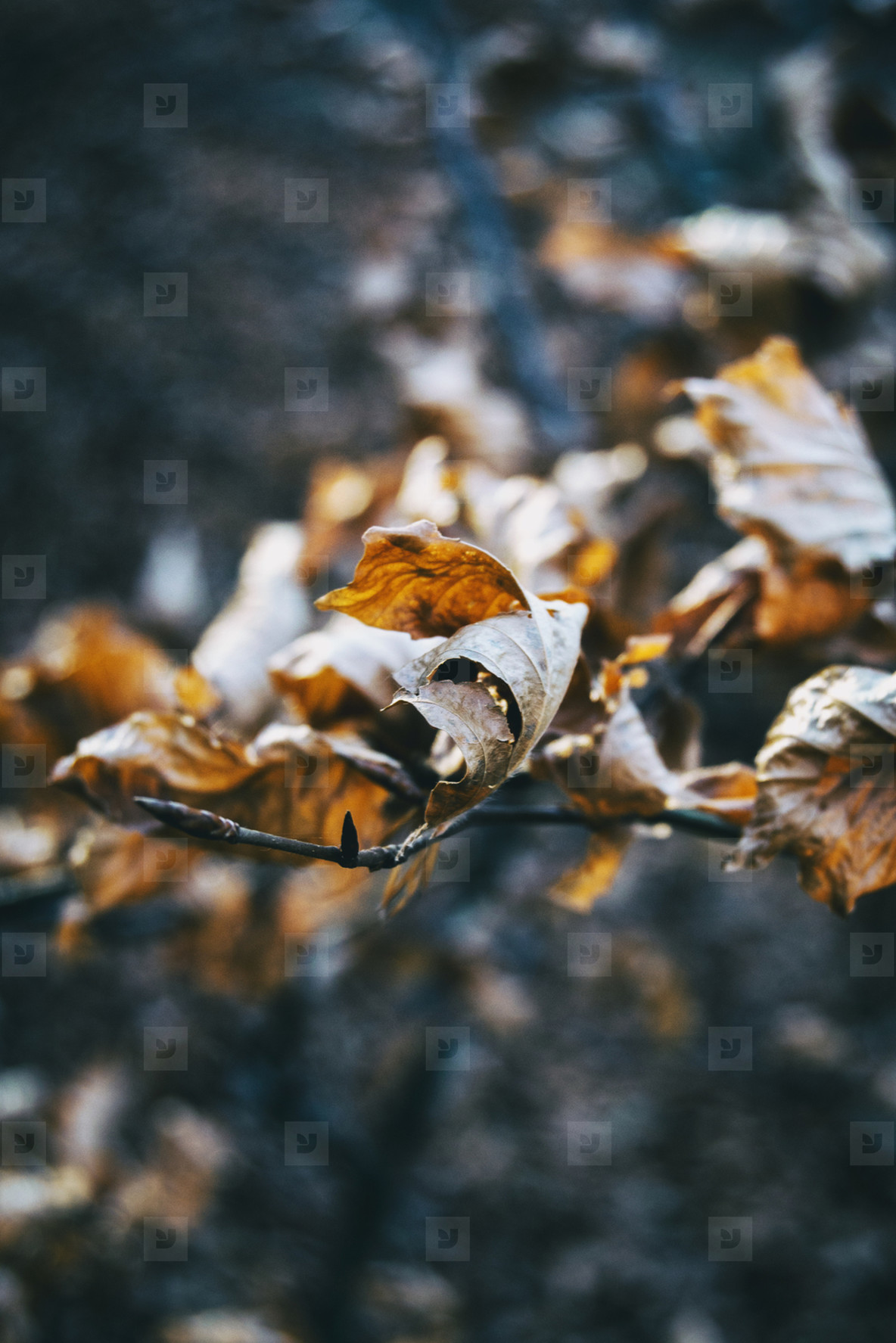 dry leaves seen from close up in the autumn   winter season