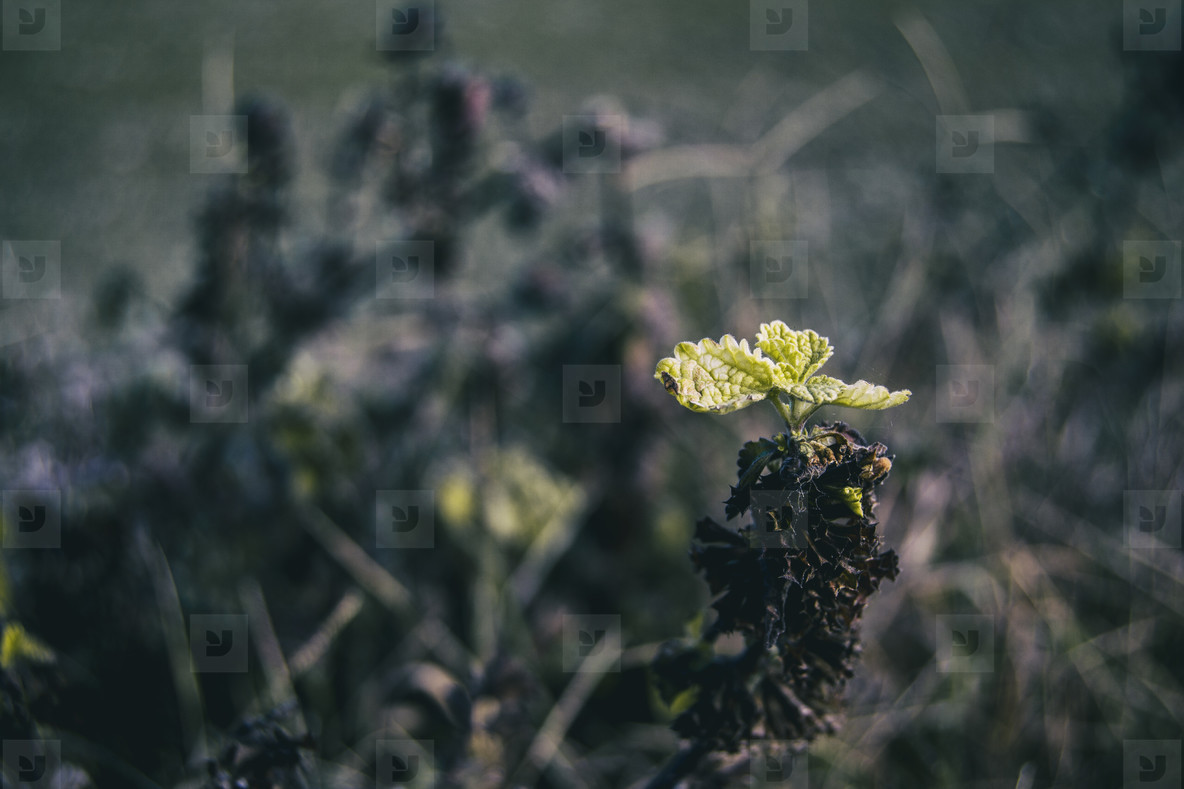 sprout of a few small leaves of vitis vinifera