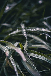 elongated grass blades with lots of dewdrops