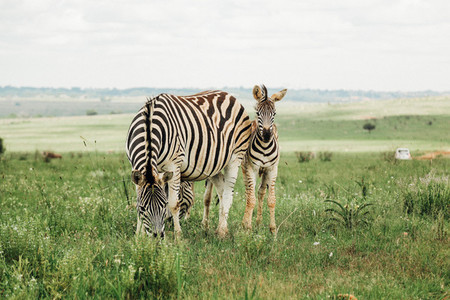 Baby Zebra and Here mom