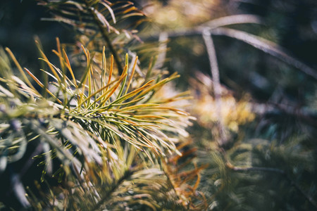 pine needles seen from close up with special colors from green to orange very beautiful