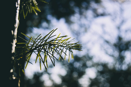 green needles seen from close up