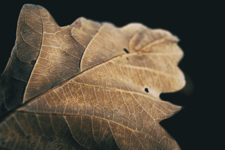 quercus leaf seen from very close where you can see the venation