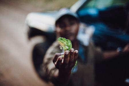 South Africa Chameleon