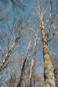 perspective of a tree seen from below in the winter season  with the branches without leaves