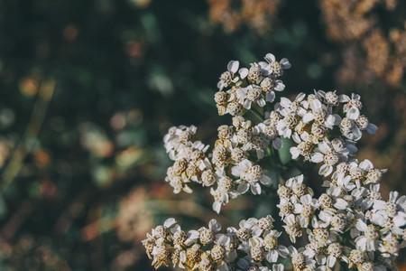 small white achillea flowers