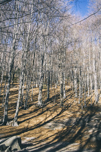 beautiful wide panorama of the autumn with dry fallen leaves covering the ground with a solid fluffy carpet and trunks of bare trees