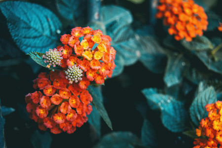 red and yellow lantana camara flowers