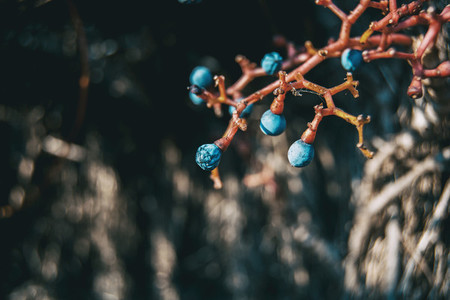 blue fruits with red branches by parthenocissus