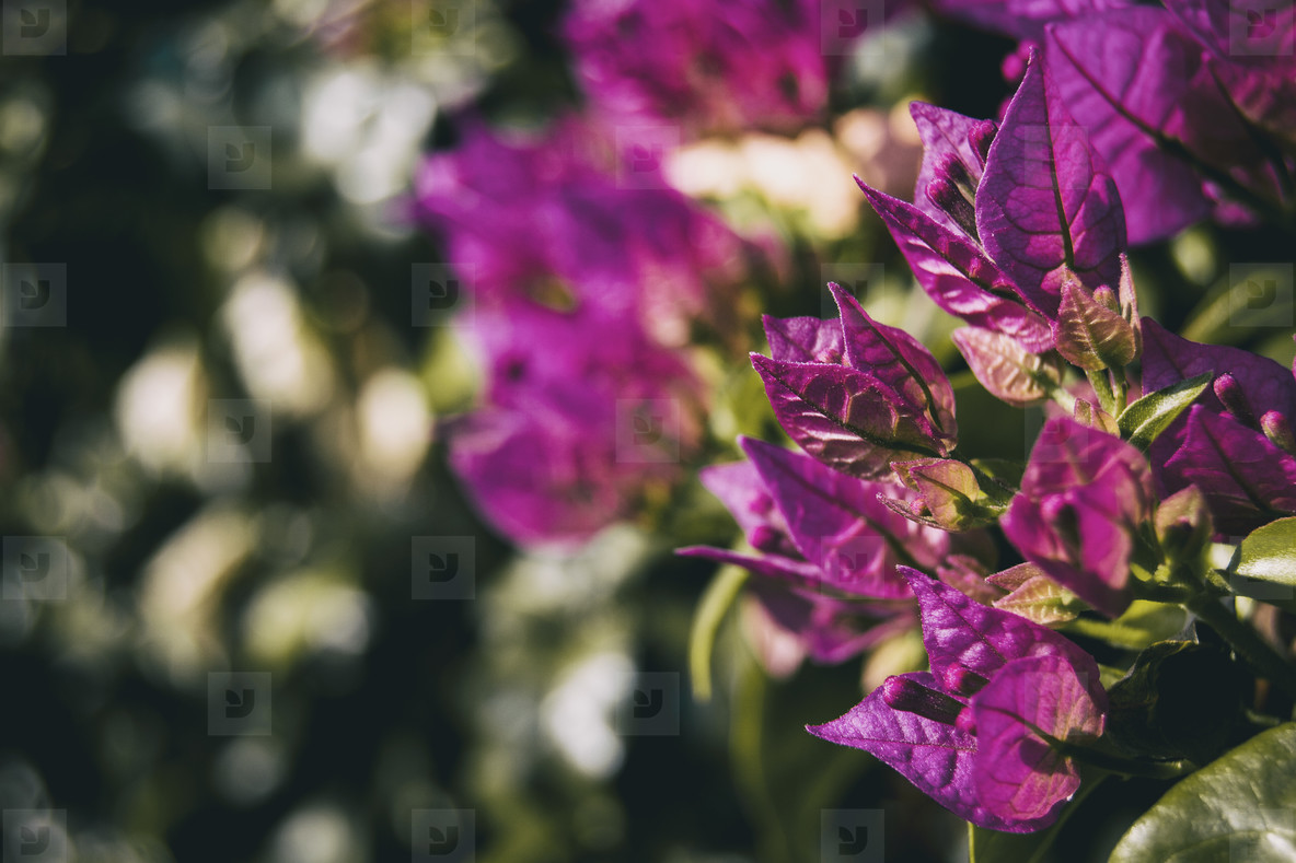 lilac or violet leaves of bouganvillea