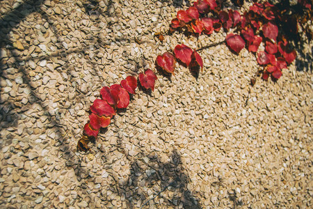 red autumn leaves of parthenocissus climbing up the wall