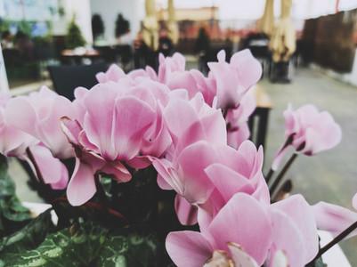 Amazing cyclamen in bloom in winter