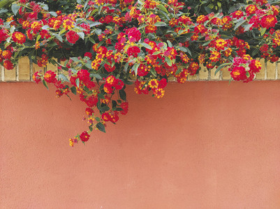 Red and orange Lantana growing up in a home wall
