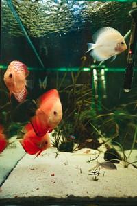 Exotic fish Symphysodon discus  in an aquarium