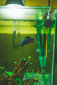 Siamese fighting fish Betta Splendens in an aquarium