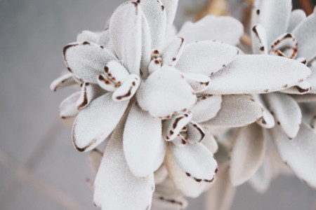 Beautiful image of a Kalanchoe Tomentosa succulent plant