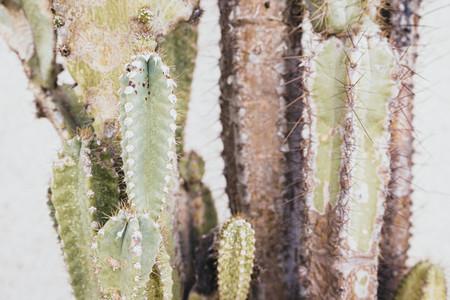 Old cereus peruvianus cactus with rust plague on it