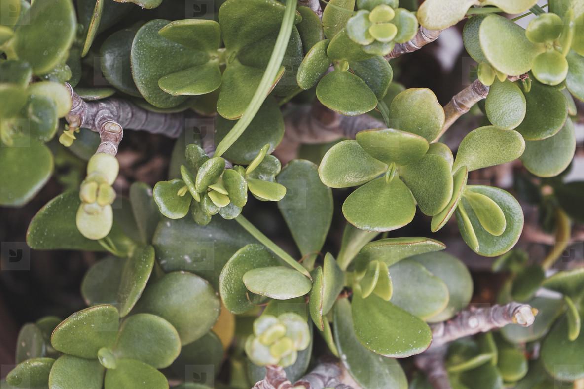 Pattern image of a crassula ovata succulent plant